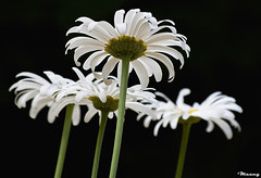 when beauty meets darkness! (M@@nʎ) Tags: flower beauty darkness iran pentax tehran ایران تهران گل k100d مولانا سیاهی مولوی سپیدی