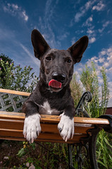 Jake, enjoying the summer evening (William Krusche) Tags: dog nikon jake sigma wideangle bluesky terrier jackrussel d300 sb800 sigma1020 strobed thelittledoglaughed strobism sb900