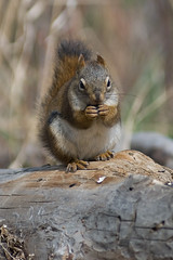 80-200 test - squirrel 1 (Todd Ginther) Tags: nikon squirrel 80200 d80