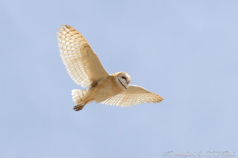 Barn-Owl-051103
