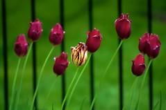 _DSC0247  2 f c    3.2k (ChanHawkins) Tags: flowers tulips flint gününeniyisithebestofday mcfarlanhome mcfarlanhomearea