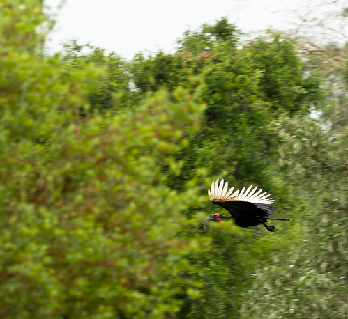 Hmm. Ground Hornbill.