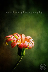 Bloom (ayashok photography) Tags: red flower green cemetery for nikon floor bangalore 6th textured nikonstunninggallery nikond40 ayashok nikor55200mm aadugodi