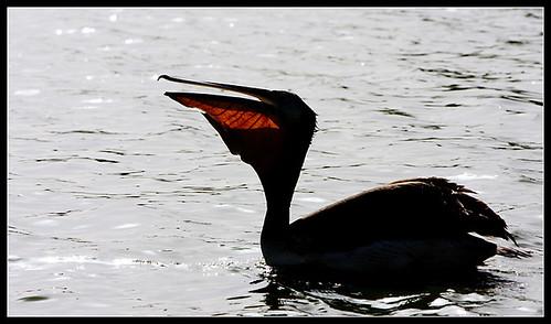 12-djoudj-pelicano