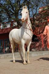DSC_0470 (manu sharma303) Tags: india punjab stallion patiala marwari nukra