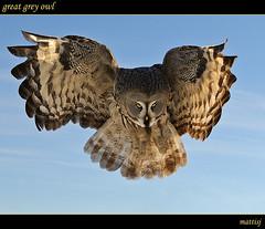 (mattisj) Tags: bird bravo greatgreyowl owl greatgrayowl strixnebulosa lintu naturesfinest lapinpöllö specanimal mywinners specanimalphotooftheday lentokuva flightpic supereco
