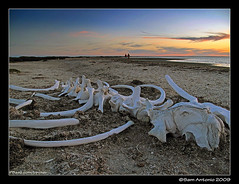San Ignacio Whale Bone Sunset (Sam Antonio Photography) Tags: travel sea vacation nature water animal mexico photography wildlife roadtrip lagoon tips bajacalifornia whale baja bajasur whalewatching sanignacio whalebone graywhale bajamexico worldtraveler travelmexico mexicotravel bajaadventure bajawhalewatching canong10 samantonio whalewatchingtips photographingwhales