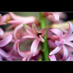 Hyacinth (JannaPham) Tags: pink flower macro canon garden eos golden spring pretty tuesday 5d hyacinth markii project365 52365 hppt jannapham