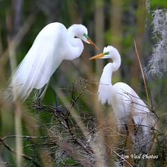 """Great Egrets Nesting!"" (Jim Vail Photos) Tags: nature birds canon wildlife destin nesting greategrets avianexcellence jimvail jimvailphotos destinphotos"