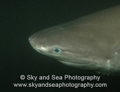 Sixgill Shark Close-Up (Sky and Sea Photography) Tags: seattle usa wa sharks underwaterphotography sixgillshark sharkresearch seattleaquariumsixgillresearch hexanchusgriseus pugetsoundsixgillshark seattleaquariumresearch