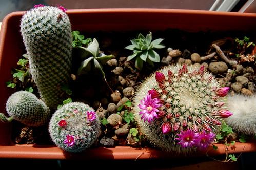 Cactos em flor