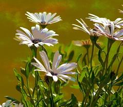 PAINTED DAISIES (Rowdy's Gal) Tags: daisies spring paintedflowers