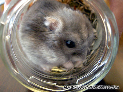 The Asais hamster knows how to open the lid of a bottle and get his own food