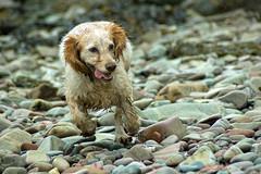Beachcomber (Dan Baillie) Tags: dog beach scotland stones pebbles spaniel cockerspaniel animalplanet galloway beachcomber dumfriesandgalloway puddock wigtownshire workingcocker workingspaniel danbaillie rubyphotographer bailliephotographycouk bailliephotography wigtownshirephotographer dumfriesandgallowayphotography