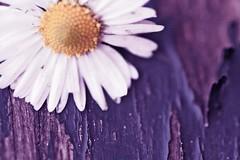 (FotoRita [Allstar maniac]) Tags: life italy rome flower roma macro colors digital canon daisy fiore myfavourites canoneos350d eos350d margherita byfotorita 3000shotsforme
