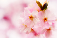 Cherry blossom kitsch (manganite) Tags: plant color macro tree topf25 closeup digital photoshop germany de cherry geotagged iso100 petals spring nikon colorful europe soft bonn mood glow dof seasons bright blossom bokeh tl vivid kitsch highsaturation  cherryblossom sakura onecolor dreamy highkey d200 pollen nikkor  dslr vignette stigma lightroom 50mmf18 f35 botanischergarten sakuranohana northrhinewestphalia stamina carpel nikond200 manganite colorefexpro 1640sec thecolorpink repost1 date:day=5 date:month=april date:year=2009 format:ratio=32 format:orientation=landscape closeuplensno5 geo:lon=7091896 geo:lat=50725531 1640secatf35 repost2