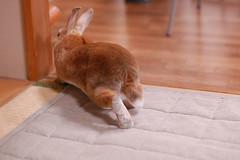 DSC_8879 (choimakko) Tags: rabbit bunny