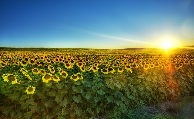 Sunflowers at Sunset high dynamic range HDR Photography inspiration and tutorial in Photoshop
