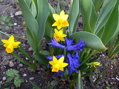 090412_Neunkirchen_066 (weisserstier) Tags: plant spring pflanze frhling narzisse hyazinthe