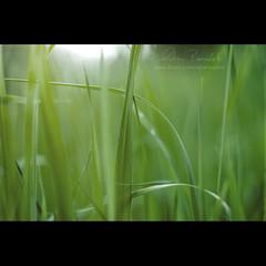 composing with grass () Tags: macro andy grass closeup focus andrea lawn andrew erba prato blades fuoco 50mmf14 filo benedetti nikond90