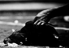 COCKFIGHT (80) (Peter_O'Driscoll) Tags: gambling game spur fight fighter attack culture cockpit clash peter coliseum rooster tradition breed combat gamble betting bet cultural gladiator manok gamecock gambler gallera sabong wager bloodsport cockfighting odriscoll stamina warrier panay gamefowl hahnenkampf cityoflove iloilocity combatdecoqs rinhadegalo bulang  colseum sagupaan g combattimentodigalli bulangan pasampok   riadegallos   sabonero manoktukaan peterodriscoll