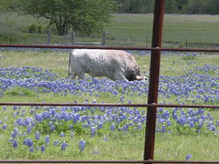 More grazing among the bluebonnets