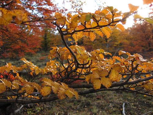 leaves. El Chalten.
