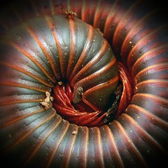 Stop Drop And Roll...Explored! (Sea Moon) Tags: red orange brown macro closeup spiral grey us unitedstates gray bands northamerica curled armored millipede banded giantmillipede narceusamericanus myriapoda diplopoda narceus narceusamericanusannulariscomplex spirobolida spirobolidae defensiveposture macrolife