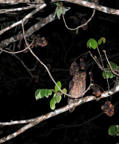 tropical screech owl2
