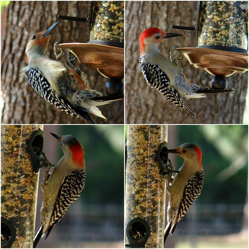 Male (top) and Female (bottom) Red-bellied Woodpeckers