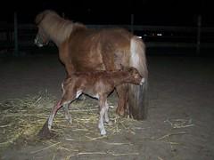 Gruhles Arwakr (tinki09) Tags: pony 2009 shetland geburt fohlen
