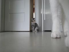 IMG_1112 (portmanteaus) Tags: cat kitten tabby guillaume scylla