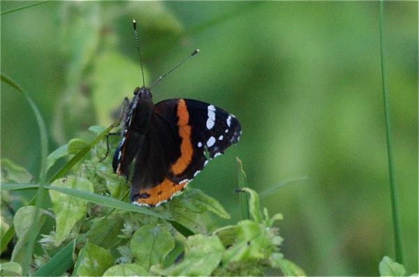 butterfly_0026