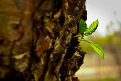 Springin' (alankaar) Tags: usa tree green minnesota leaf spring nikon minneapolis bark nikkor universityofminnesota d60 eastbank 1855mmf3556gvr