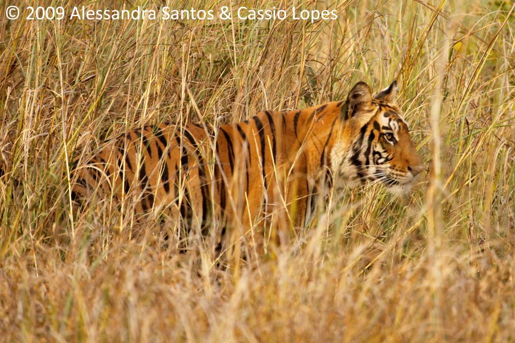 Chorbhera Tigress _MG_0790_F