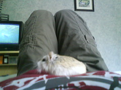 Jotoh watching the T.V on my belly! (ikieran97) Tags: hamsters jotoh