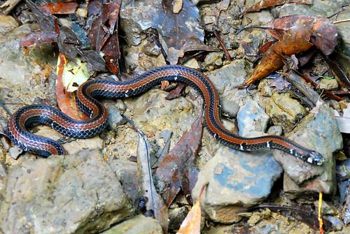 可愛的帶紋赤蛇(台灣麗紋蛇)