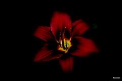 Red (kezwan) Tags: red flower blomma gul rd kezwan