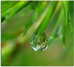 Pine Needles, Pine Drops (Tracey Tilson Photography) Tags: macro reflection green nature water rain closeup pine 50mm mirror nc nikon waterdrop natural bokeh gorgeous north drop needle dew micro refraction carolina nikkor thursday picnik raynox d90 gotothelight ihavethebestflickrfriends