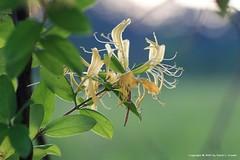 tn_cruiseinleesburg_0606_0199 (DLC Photos) Tags: flower nature canon honeysuckle
