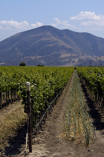 Central California Vineyard