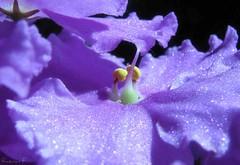 Flower Macro (view large) (Razvan F.) Tags: flower detail macro nature canon close colorfull powershot beautifull aplusphoto s5is