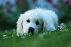 A flower for your thoughts (}~T~{) Tags: flowers roses summer dog white flower cute goldenretriever puppy golden dof sweet retriever clover baldur thelittledoglaughed