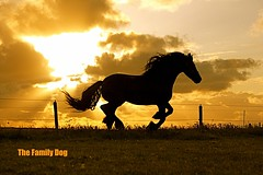 cavalo (The Family Dog) Tags: sunset horses horse color silhouette caballo cheval running ameland cavalo equine frisian equines manes cheveaux