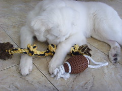 New Toys 12 (PolothePup) Tags: dog puppy great polo pyrenees greatpyrenees