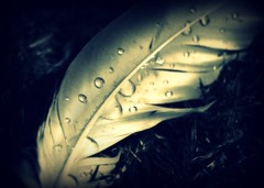 (.CellarDoor Photography.) Tags: bw grass rain photography feather olympus raindrop waterdroplet birdfeather olympuse500 flickrstream gilliansimpson cellardoorphotography flickrphotograph coppercloudsilvernsun