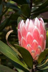 Cactus Flower?