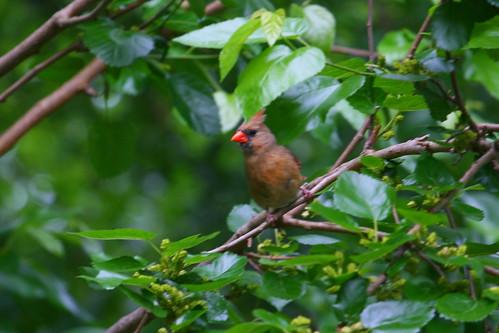 CardinalBirdFamily - 06