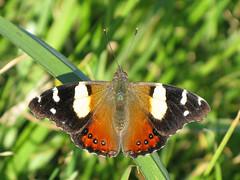 Vanessa itea (Lepsibu) Tags: newzealand butterfly lepidoptera papillon nymphalidae nymphalinae nouvellezélande vanessaitea