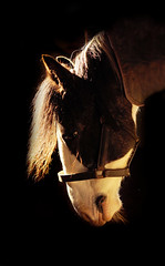 Portrait (whistonmay) Tags: light portrait horse white black studio back head ish lit cob submission backround